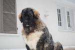 H´iakov Berger du Caucase 7 mois - Berger du Caucase (7 mois)