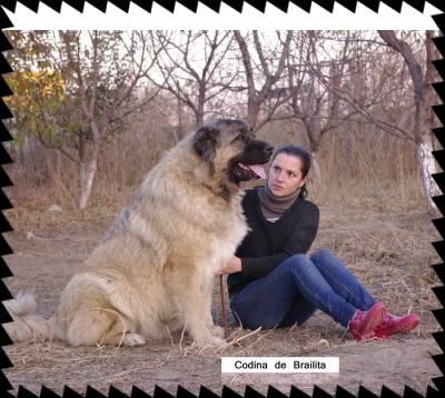 Codina de Brailita- berger du caucase - Berger du Caucase