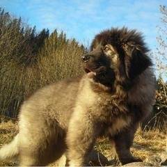 tafari - Berger du Caucase Mâle (4 mois)