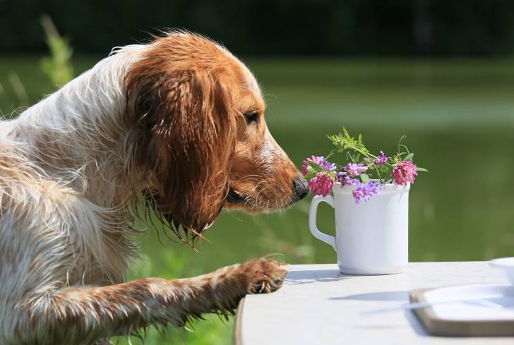 Un Epagneul Russe renifle des fleurs dans un vase