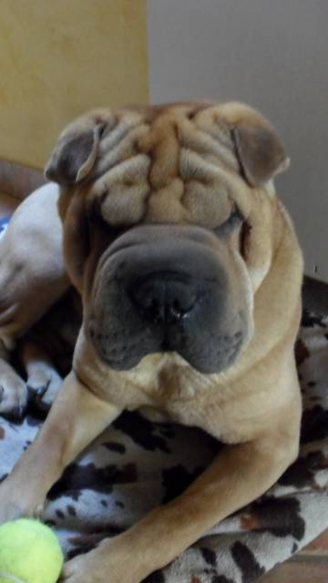 Come back - Sharpei Mâle (4 ans)