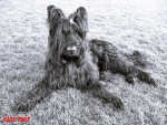 Beau portrait noir et blanc de Kannou - Briard