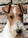 Chien Bluma Fox Terrier à poil dur - Fox terrier à poil dur  (0 mois)