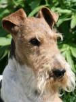 Chien Fox Terrier à poil dur : Caruso des Fox d\'Elodie - Fox terrier à poil dur  (0 mois)