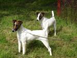 Chien Fox terriers à poil lisse de Camp Rémy - Fox terrier à poil dur  (Vient de naître)