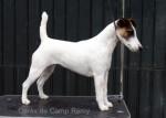Chien Cérès de Camp Rémy : Fox terrier à poil lisse - Fox terrier à poil dur  (Vient de naître)