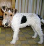 Chien GWENNKI DU HALLIER D\'ELTINOR 6 mois, Fox Terrier - Fox terrier à poil dur  (6 mois)