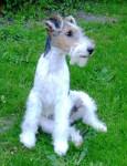 Chien GWENNKI DU HALLIER D\'ELTINOR, Fox Terrier - Fox terrier à poil dur  (Vient de naître)
