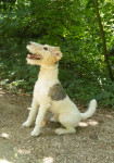 Nando - Fox terrier à poil dur Mâle (1 an et 9 mois)