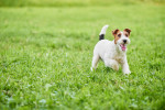 Photo Fox terrier à poil dur