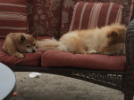 my dogs - Loulou de Poméranie Mâle (6 ans)