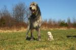irish wolfhound - Lévrier irlandais
