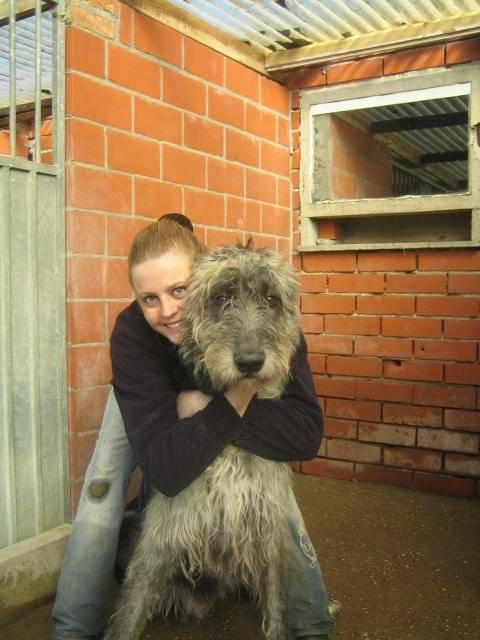 Roy... Irish Wolfhound - Lévrier irlandais