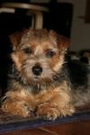 Ruth - Terrier du Norfolk (1 an et 7 mois)