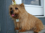 Photo Terrier du Norfolk