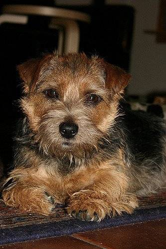Ruth - Terrier du Norfolk (1 an et 7 mois)