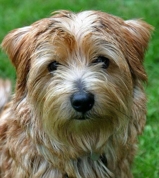 Beccles - Terrier du Norfolk