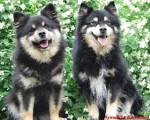 chien finnois de Laponie - Amalia d'ARVELA SUOMEN et SASKATCHEWAN TRAIL'S Pataud appartenant à l'éle - Chien finnois de Laponie