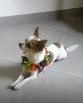Chien kenzo - Chihuahua Femelle (2 ans)