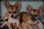 Photo Chihuahua (4 mois)