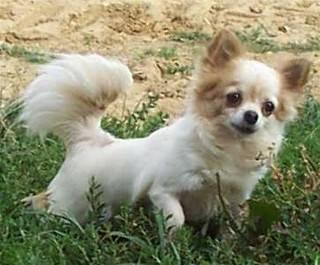 Roméla - Chihuahua (6 mois)