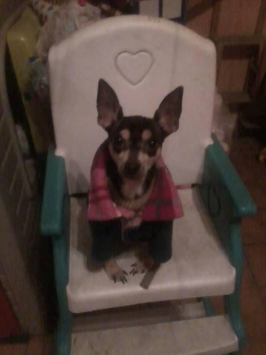 Timmy - Chihuahua Mâle (4 ans)
