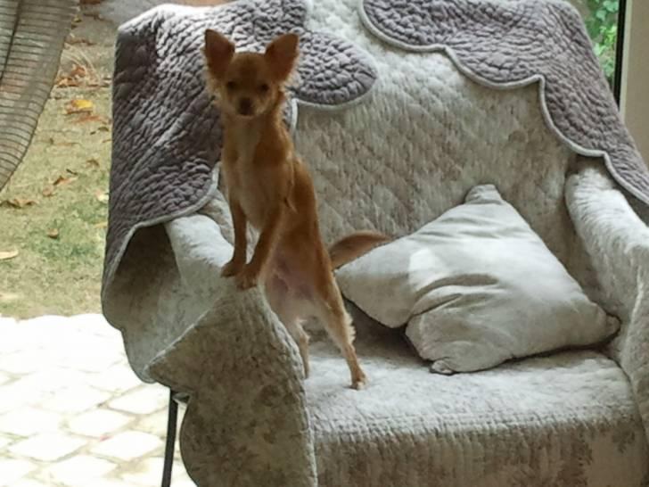 Gentleman - Chihuahua Mâle (7 mois)