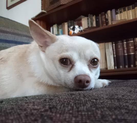 Ibis - Chihuahua (7 ans)