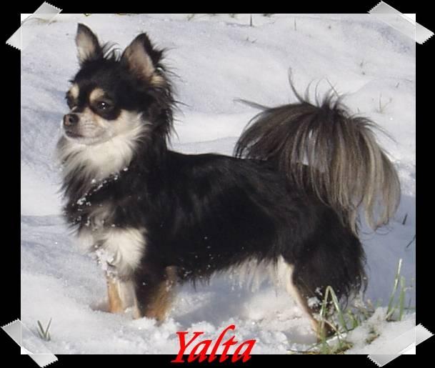 Yalta - Chihuahua (10 ans)