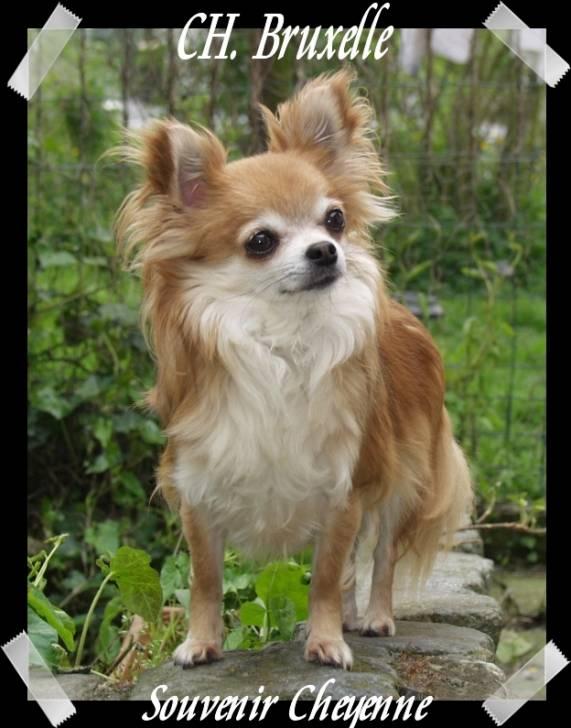Multi CH. Bruxelle Souvenir Cheyenne - Chihuahua (8 ans)