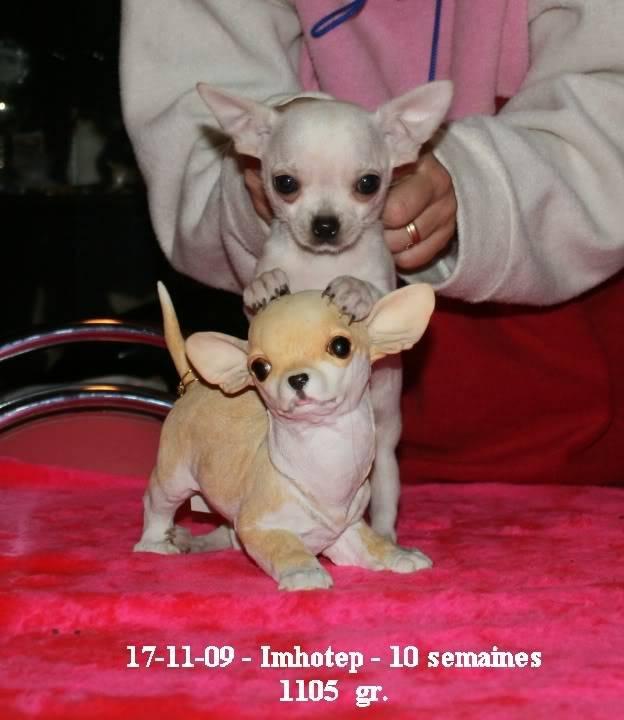 Imhotep - Chihuahua Mâle (6 mois)