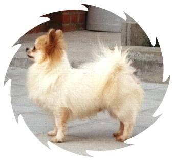 Y.Star - Chihuahua (5 ans)