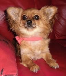 Rubis - Chihuahua (1 an)