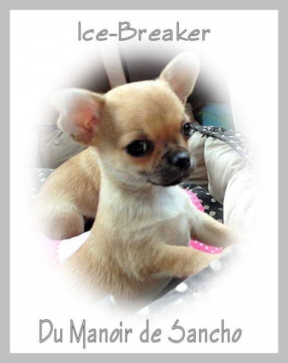 Ice breaker - Chihuahua Mâle (6 mois)