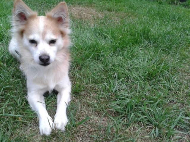 Racker - Chihuahua (9 ans)