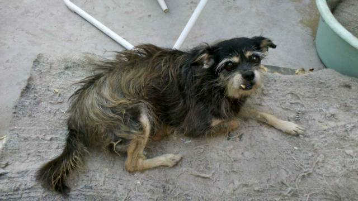 Iara - Chihuahua (9 ans)