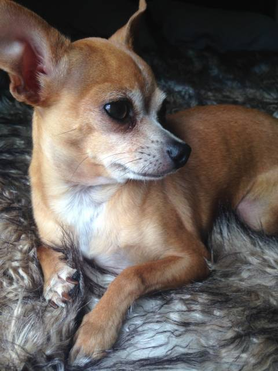 Toby - Chihuahua Mâle (3 ans)