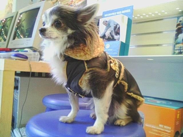 T'as vu mon nouveau manteau ??? ca fait bikeuse, non !!! - Chihuahua
