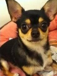 Chica - Chihuahua (1 an)