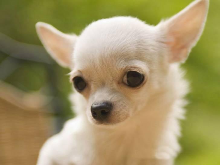 reina - Chihuahua (11 mois)