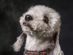 Photo Bedlington Terrier