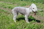 Photo Bedlington Terrier