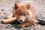 Chien Dingo - Dingo Mâle (1 an)