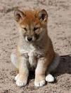 Chien Roxy - Dingo Femelle (1 an)