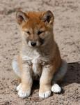 Chien Soyer - Dingo Mâle (3 mois)