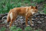 Chien Fluffy - Dingo Mâle (3 mois)