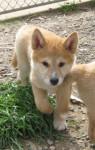 Arlo - Dingo Mâle (3 mois)