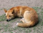 Chien dingo - Dingo Femelle (1 an)