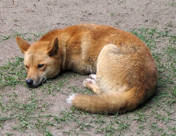 dingo - Dingo (1 an)