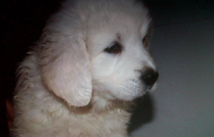 Flokon a presque 2 mois - Berger de Podhale (2 mois)